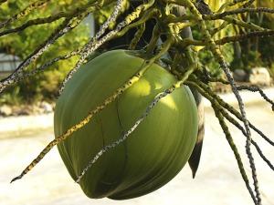 coconut-174666_1280